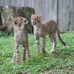 zwei ganz verspielte Leopardenjunge